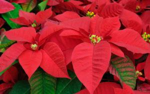 Stella di Natale - una pianta tossica per i nostri amici animali